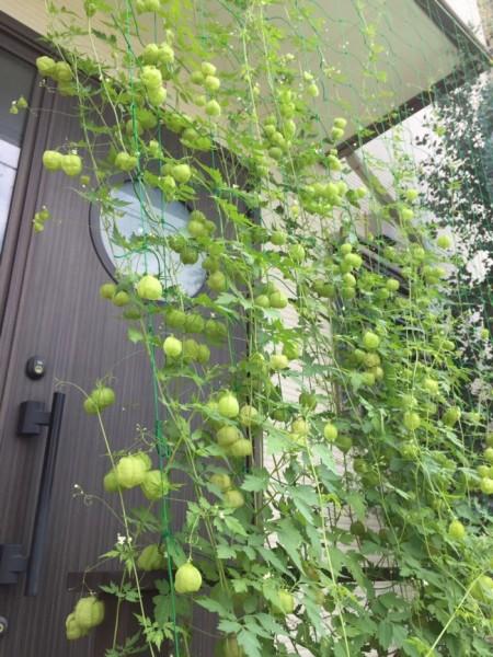 フウセンカズラでグリーンカーテンに挑戦!②「実り過ぎの秋 の巻」