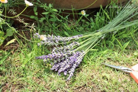 夏の暑い日のこと。ラベンダーを摘みにでかけました。